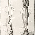 Leg Nerve, 18th Century Illustration by Wellcome Images