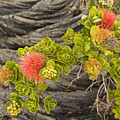 Lehua Flower by Ron Dahlquist - Printscapes