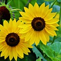 Lemon Sunflowers by Cynthia Guinn