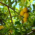 Lemon Tree by Christopher Rowlands
