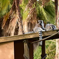 Lemur Couple by Tarun Jain