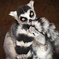 Lemur by David Williams