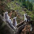 Lemur Family by Melinda Hughes-Berland