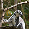 Lemur Love by Ally  White