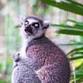 Lemur's Gaze by Alice Gipson