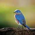 Lenore's Bluebird by Robert Frederick