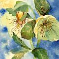 Lenten Rose by Casey Shannon