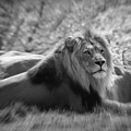 Leo The Lion by Chris Scroggins