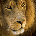 Leo The Lion by Robert Potts