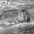 Leo The Lion..... by WaLdEmAr BoRrErO