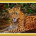 Leopard Beauty Catus 1 No. 1 L A With Decorative Ornate Printed Frame by Gert J Rheeders