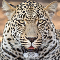 Leopard Close Up by Stephan Olivier