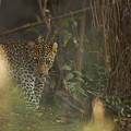 Leopard Comes Out Of The Bush by Johan Elzenga