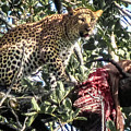 Leopard Eating Impala In A Tree by Gregory Daley  MPSA