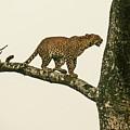 Leopard In A Sal Tree by Elizabeth Hershkowitz