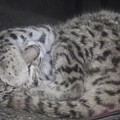 Leopard Kitten by Misty VanPool