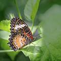 Leopard Lacewing by Elisabeth Lucas