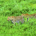 Leopard On The Move by Etienne Outram