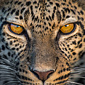 Leopard Panthera Pardus, Ndutu by Panoramic Images