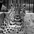 Leopard by Robert Edgar
