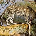 Leopard With Gazelle by Aivar Mikko