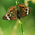 Lepidoptera by Charles Dobbs