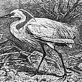 Lesser Egret by Granger