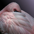 Lesser Flamingo Resting by Debi Dalio