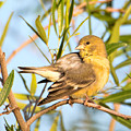 Lesser Goldfinch by Dan McManus