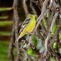 Lesser Goldfinch H57 by Mark Myhaver