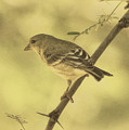 Lesser Goldfinch In Acacia Tree Des by Theo O'Connor