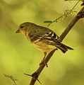 Lesser Goldfinch In Acacia Tree by Theo O'Connor