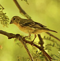 Lesser Goldfinch On Acacia Limb by Theo O'Connor