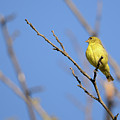Lesser Goldfinch by Thomas Morris