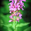 Lesser Purple Fringed Orchid by LeeAnn McLaneGoetz McLaneGoetzStudioLLCcom