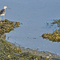 Lesser Yellowlegs by Colleen English