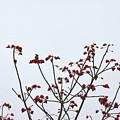 Lesser Yellownape Woodpecker by David Hohmann