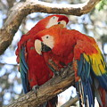 Let Me Get It - Scarlet Macaws by Lynn Michelle