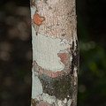 Lichen On The Trees At The Coba Ruins  by Carol Ailles