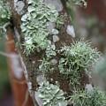 Lichens 4 by Carol Groenen