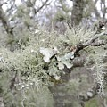Lichens In The Plums by Royal Tyler