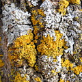 Lichens On Tree Bark by Kent Lorentzen