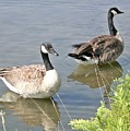 Life Is Good For Canadian Geese by Sholeh Mesbah