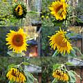 Life Of A Sunflower by Vava Fuller-quinn