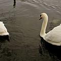 Life Of Swans. by Elena Perelman