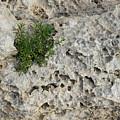 Life On Bare Rock - Pockmarked Limestone And Thyme by Georgia Mizuleva