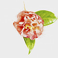 Light And Bright Camellia by Kay Brewer