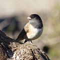 Light And Dark Of A Junco by Andrea Freeman