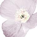 Light Dusty Lavender Poppy by Heather Joyce Morrill