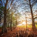 Light In The Cypress Trees II by Debra and Dave Vanderlaan